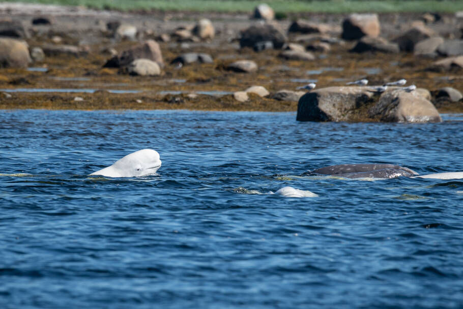 Beluga Whale watching in Solovki
