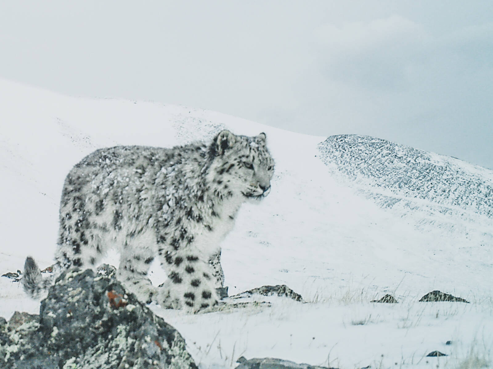 Looking for the Snow Leopard